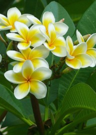 Come si pronuncia Plumeria - Photo by Zachi Evenor